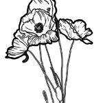 Umbala wephepha uPoppy | plant