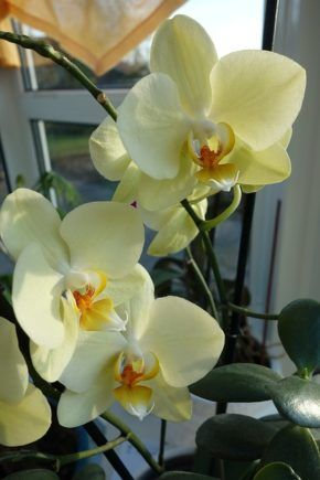 The most common mistakes in orchids care