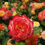 Rose care | Garden and plants