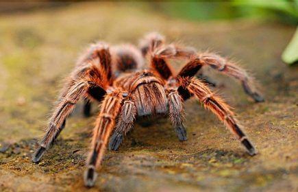 Ragno come animale domestico - tarantola