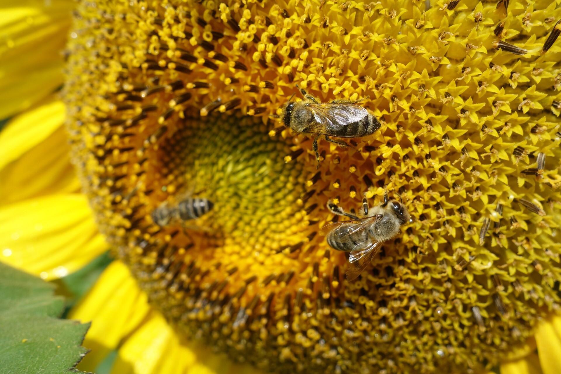 Wie stellen Bienen Bienenwachs her?