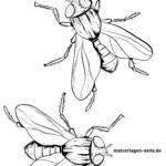 Malvorlage Fliege | Insekten