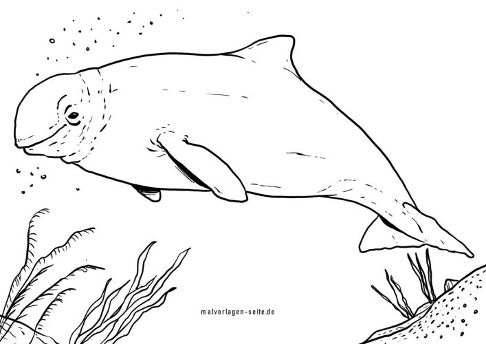 Malvorlage Beluga / Weißwal