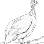 Litarblað gínea fugl