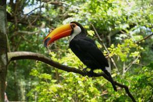 Бояу беті toucan | жануарлар