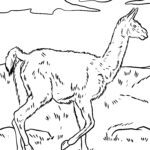 Malvorlage Guanako - Kamel Tiere