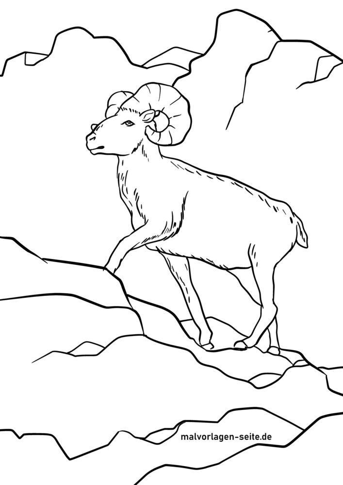 Litasíða mouflon - villtar kindur