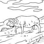 Litasíða buffalo - villt dýr