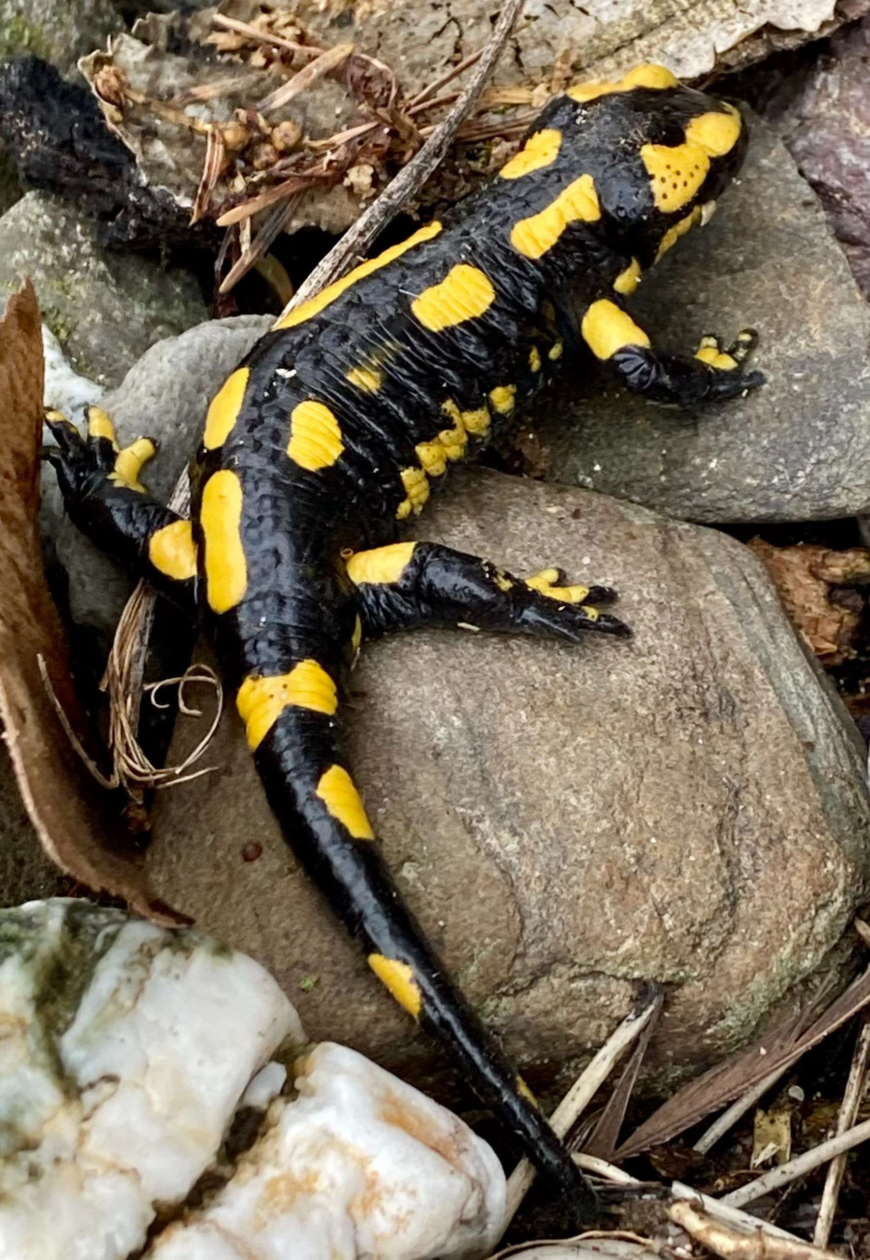 Tolle Malvorlage Feuersalamander - Tiere - Kostenlose Ausmalbilder