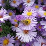 Foto de abella - abella no aster do outono