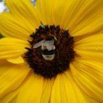Foto de abella - abella de xirasol