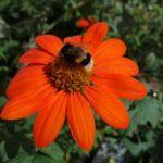 Foto de abella - abella en equinácea
