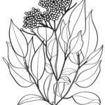 Shafin canza launi elderberry